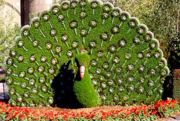 Храст с формата на паун
