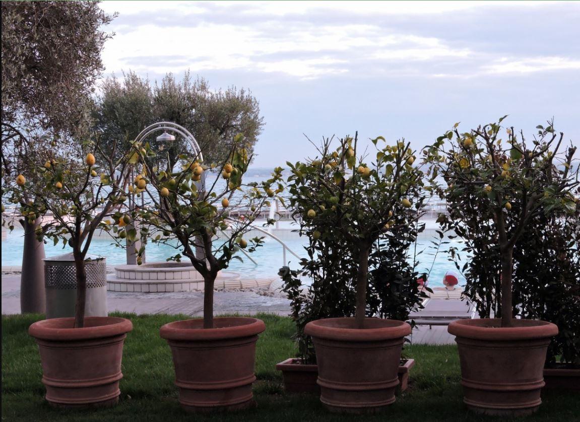 маслиново дърво в саксия